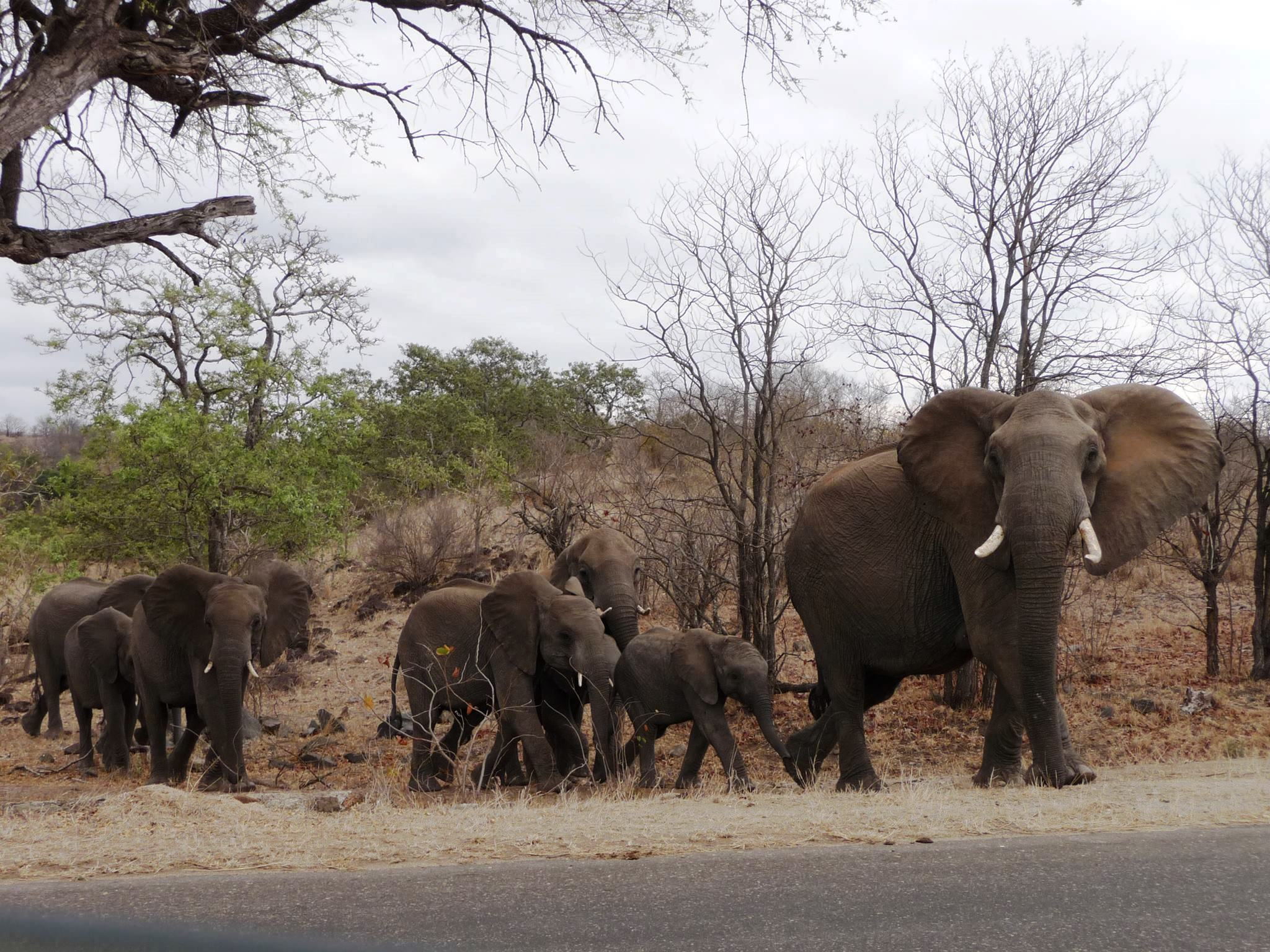 Elephants in Kruger